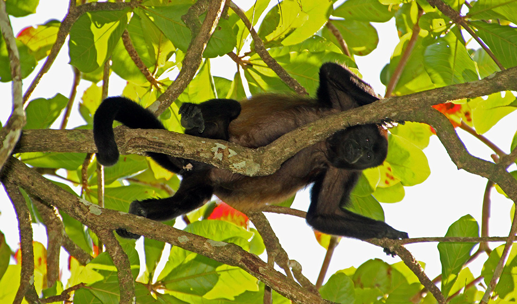 howler-monkey-costa_rica